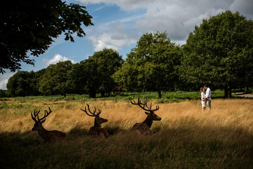 richmond park couple shoot, deer in foreground