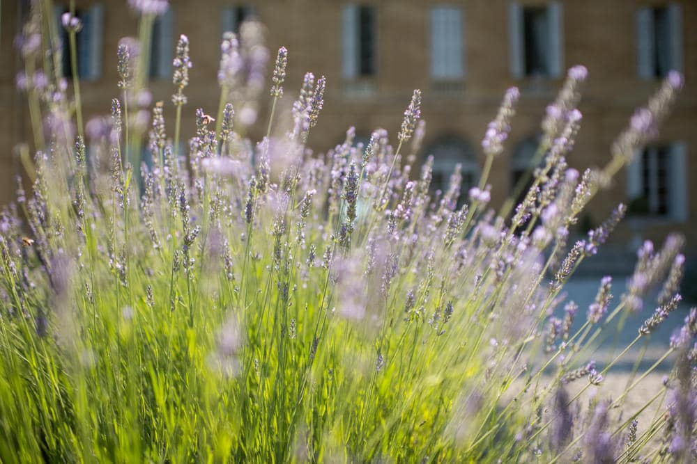 lavender at Chateau La Durantie