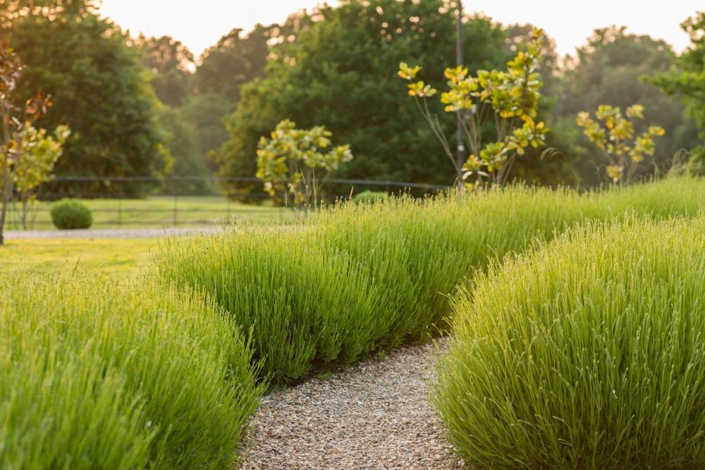 lavender at Botleys Mansion Surrey