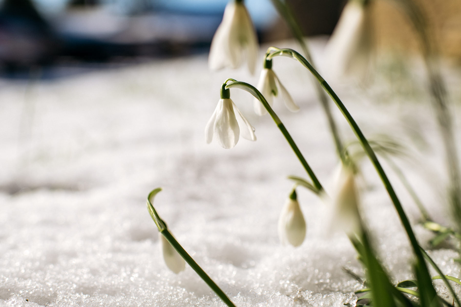 snow drops in snow